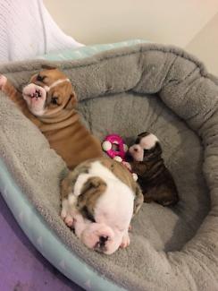 Bulldogs for sale!