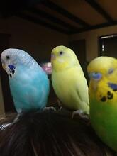 Yellow budgie missing from  Caboolture Caboolture Caboolture Area Preview