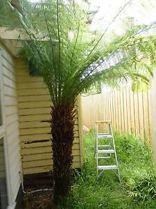 Tree Fern (2.5 -3.0m tall) Oakleigh Monash Area Preview