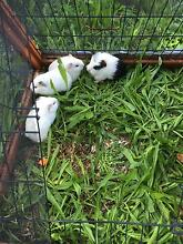 Lovely and cute Guinea pigs West Ryde Ryde Area Preview