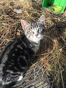 FREE KITTENS LITTER OF 5!! Still available !!! Strathcona County Edmonton Area image 8