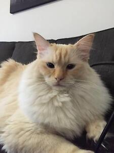 Wanted Cat Trimmer Shave High Wycombe Kalamunda Area Preview