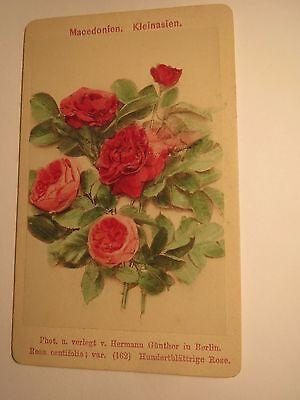 Rosa centifolia - Hundertblättrige Rose - Pflanze / CDV