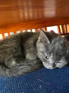 Kitten Russian blue x, females