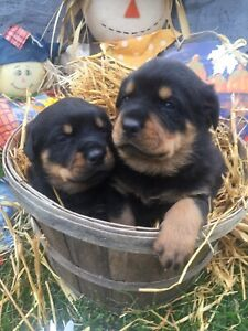 Rottweiler   Adopt Dogs & Puppies Locally in Ontario
