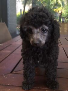 Pure bred silver toy poodle pups for sale Ellenbrook Swan Area Preview