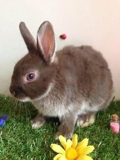 Netherland dwarf baby rabbit 8 weeks very friendly  Pakenham Cardinia Area Preview