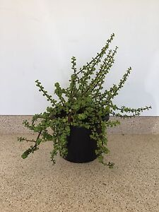 Huge jade - architectural money plant Ascot Brisbane North East Preview
