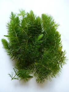 Pond plants ebay for Oxygenating plants for garden ponds