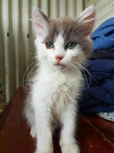5 adorable kittens Old Toongabbie Parramatta Area Preview