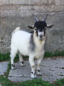 Young male Pygmy goat for sale