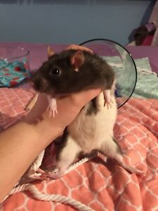 STILL AVAILABLE: Female Rats for Rehoming