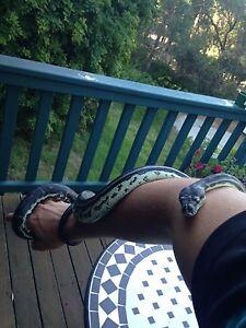 southwest carpet python 4 year olds Glen Forrest Mundaring Area Preview