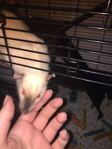 2 Young Male Rats for sale