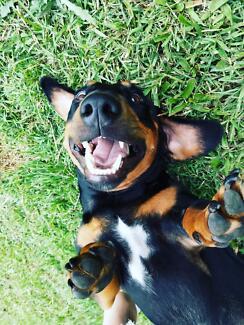 Standard dachshund cross