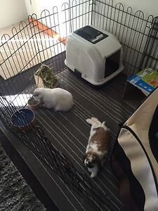 Female and male bonded mini lop bunnies free to a suitable home Penshurst Hurstville Area Preview