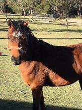 Star 12hh pony Wallarah Wyong Area Preview