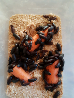 Breeding darkling beetles and mealworms