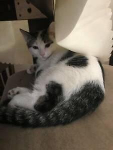 BARRON VON CATNIP (IF058-20) - rescue kitten - *Vet Work Incl.* Port Kennedy Rockingham Area Preview