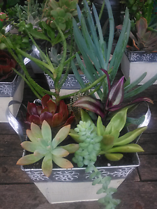 Easter succulent plant gifts Bidwill Blacktown Area Preview