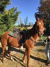 Stock Horse Mare Glen Innes Glen Innes Area Preview