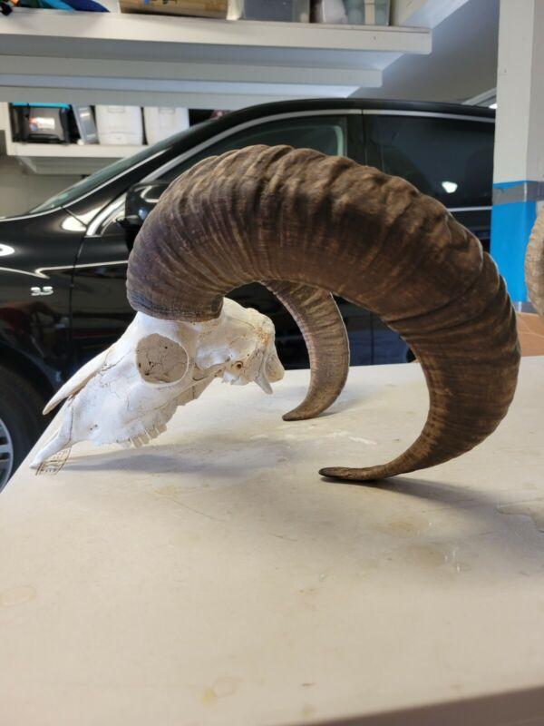 Sheep Ram Skull  Taxidermy Antler horns Mancave