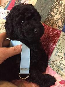 Purebred poodles Toy x Miniature girls Hepburn Area Preview