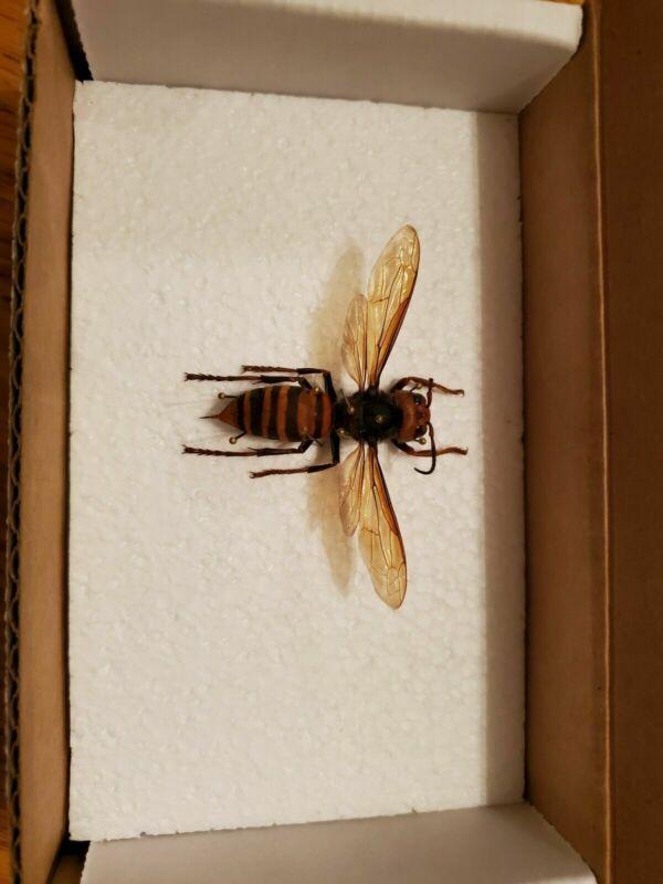 Wings Spread Japanese Vespa Mandarina Japonica Murder Hornet Wasp