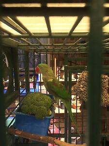 ALEXANDRINE PARROT and cage Edens Landing Logan Area Preview