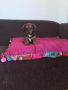 Dachshund puppies Newcastle Newcastle Area Preview