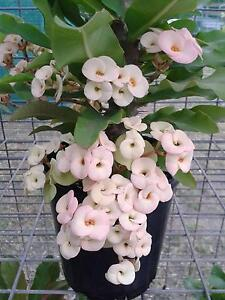 EUPHORBIA MILII / CROWN OF THORNS Lockyer Waters Lockyer Valley Preview