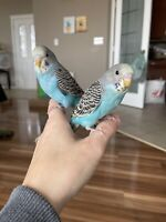 Baby handfed budgies ready for their new home! Just weaned!