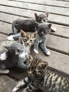 Kittens Willawarrin Kempsey Area Preview