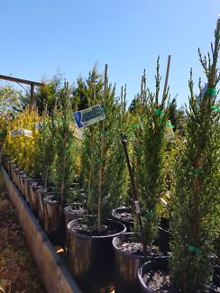 GLAUCA PENCIL PINES AND SWANES GOLD 8IN FROM  $18 EA