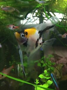 Koi angel fish for sale Padstow Bankstown Area Preview