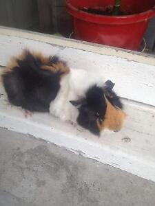 Male Guinea pig Manly Manly Area Preview
