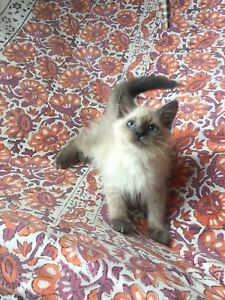 2 month old Balinese kitten for sale