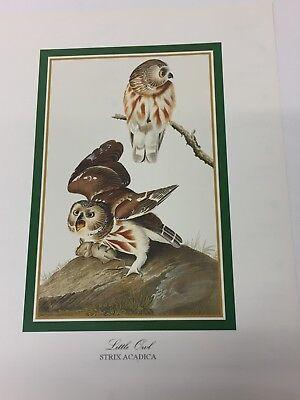 Audubon - LITTLE OWL- Bird Print 25.5 cm x 19.5 cm Vintage Art Birds STRIX
