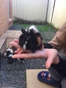 Guinea pig babies Revesby Bankstown Area Preview