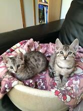 Kittens - Bengal X DSH Armidale City Preview