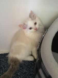 Ragdoll Registered With Papers Desexed Sydney Or  Central Coast Eraring Lake Macquarie Area Preview