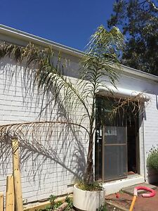 Pot plant palm tree type in white pot Panorama Mitcham Area Preview