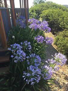 WANTED - Agapanthus Edgecliff Eastern Suburbs Preview