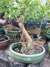 Bonsai plants Oakford Serpentine Area Preview