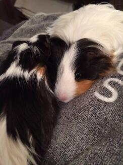 WANTED: Guinea pig boarding