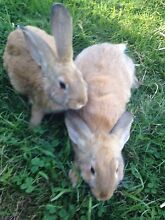 Pure Bred British Giant rabbits Beauty Point West Tamar Preview