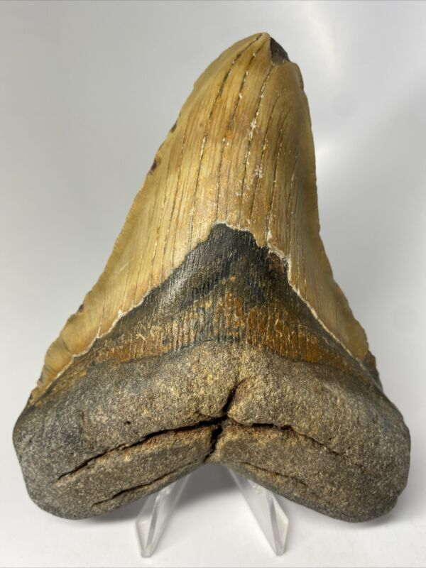 """Megalodon Shark Tooth 5.59"""" Huge - Natural Fossil - Real 9982"""