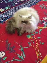 Himalayan Persian Maitland Maitland Area Preview
