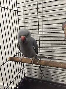 Indian Ringneck Handraised Ormeau Hills Gold Coast North Preview