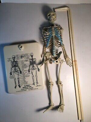Skeleton Plastic Teaching Aid Human Anatomy Leon Schlossberg Inc. 1960